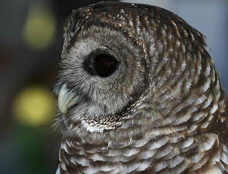 Erin Tucker - Barred Owl 1