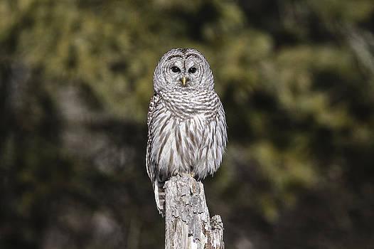 Gary Hall - Barred Owl 2