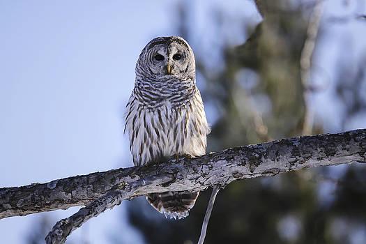 Gary Hall - Barred Owl 3