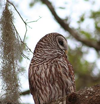 Barred Owl by Anita Parker
