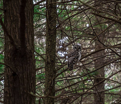 Barred Owl by Anthony Thomas