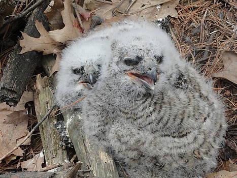 Barred Owl Baby's  by Jody Benolken