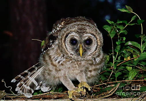 Wayne Nielsen - Barred Owl Crouches to Spring