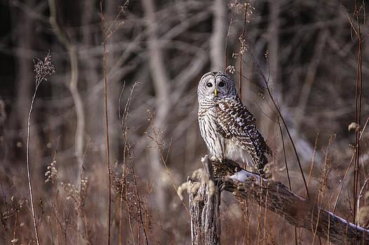 Gary Hall - Barred Owl