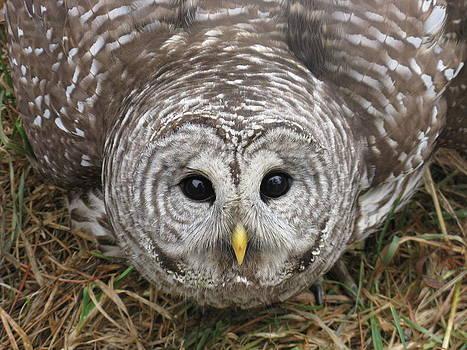 Barred Owl  by Jody Benolken