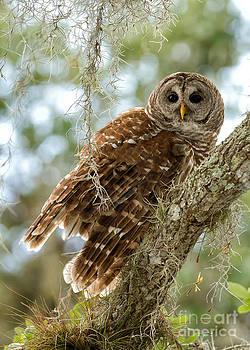 Joshua  Clark - Barred Owl