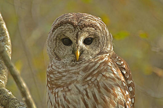 Barred Owl looking at you by Nancy Landry