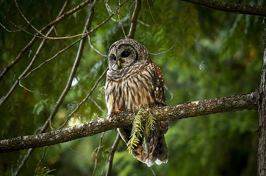 Barred owl by Martin Cooper