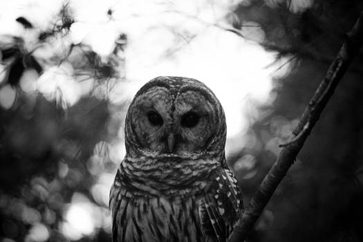 Patti Colston - Barred Owl