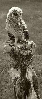 Nina Fosdick - Barred Owl Perch