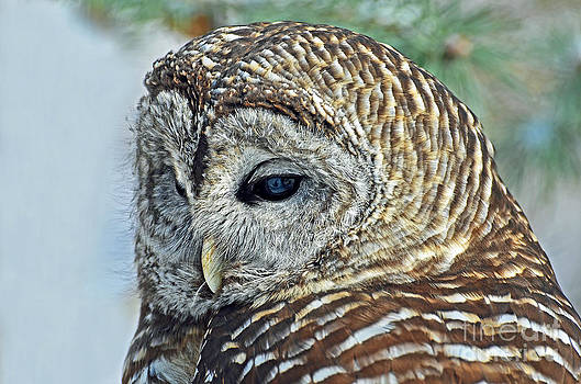 Barred Owl Portrait by Rodney Campbell