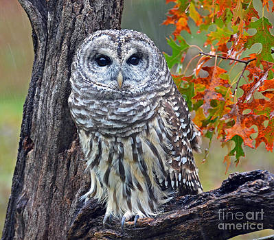 Barred Owl by Rodney Campbell