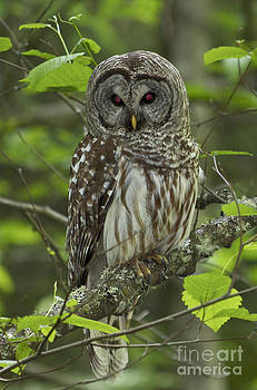 Barred Owl by Tracey Levine