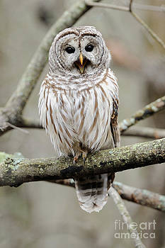 Scott Linstead - Barred Owl Yawning