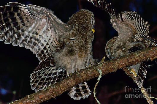 Wayne Nielsen - Barred Owls Spar at Night