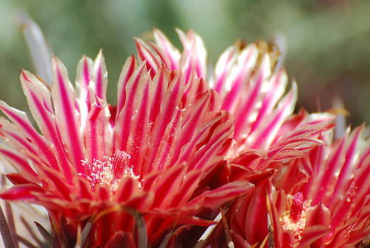 Barrel Cactus Flower by Cheryl Fecht