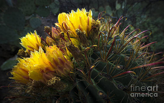 Barrel Cactus in Bloom 1 by Richard Mason