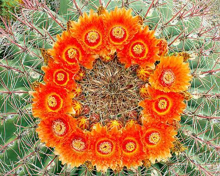 Douglas Taylor - BARREL CACTUS - WREATH OF FLOWERS