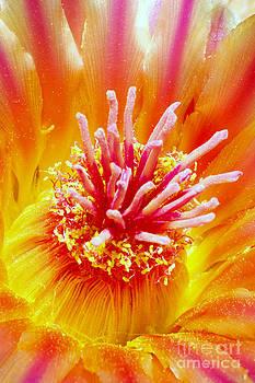 Douglas Taylor - BARREL FLOWER CLOSE UP