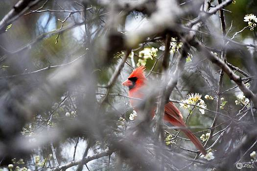 Bashful Cardinal by Phillip Segura