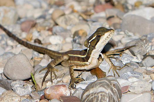 Basilisk lizard by Joep K