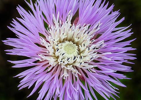 Basket-Flower Opening by Steven Schwartzman