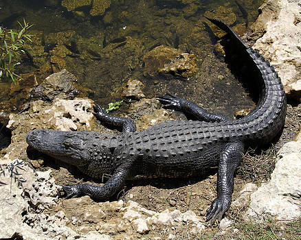 Doris Potter - Basking Alligator