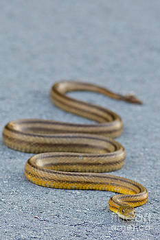 Basking Florida Yellow Rat Snake by Natural Focal Point Photography