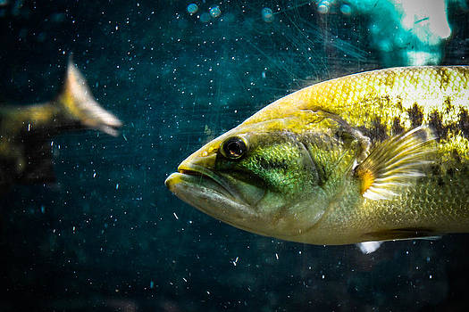 Bass by Timothy Lens Attack