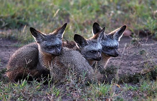 Bat-Eared Fox by Raj Dhage