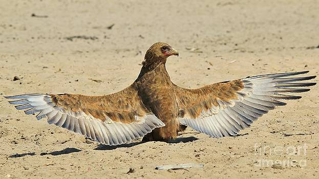 Hermanus A Alberts - Bateleur Eagle - Pride and Power