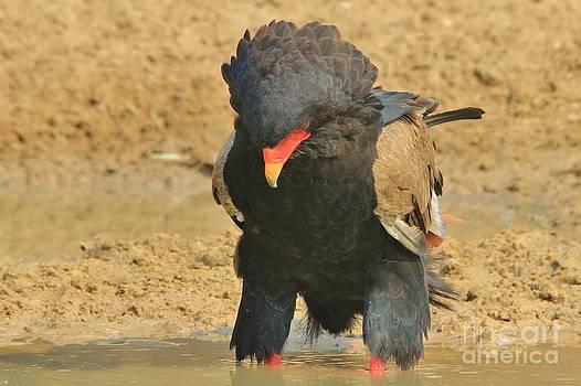Hermanus A Alberts - Bateleur Eagle - Water Stare