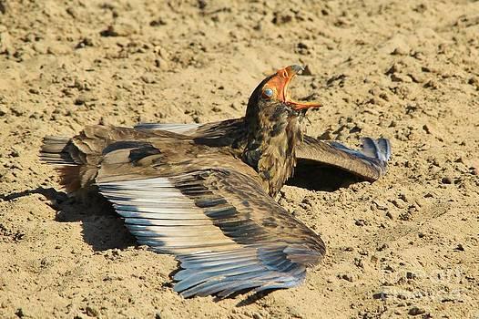 Hermanus A Alberts - Bateleur Eagle Call