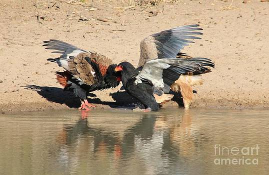 Hermanus A Alberts - Bateleur eagle fight