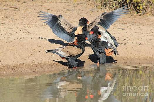 Hermanus A Alberts - Bateleur Eagle Trio Fight