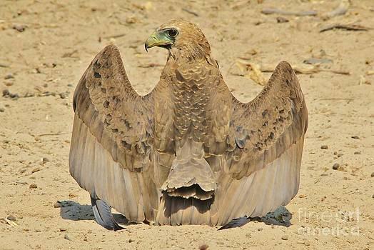 Hermanus A Alberts - Bateleur Eagle Wings