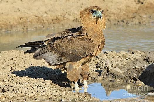 Hermanus A Alberts - Bateleur Eaglet