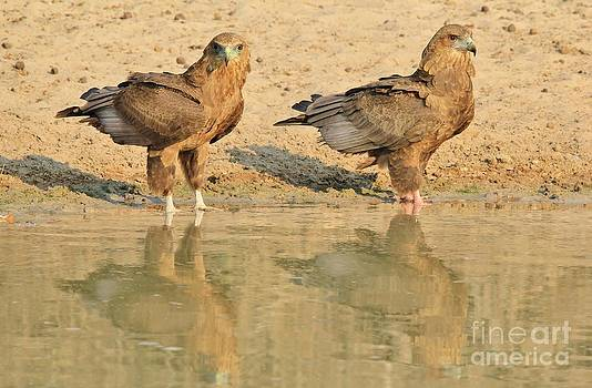 Hermanus A Alberts - Bateleur Eaglets