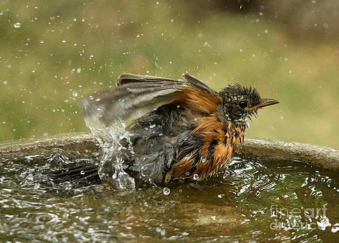 Bathing Robin by Lori Tordsen
