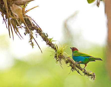 Bay-headed Tanager by Brian Magnier