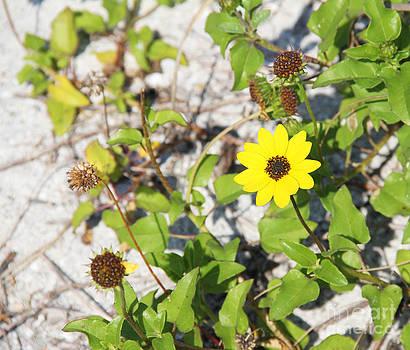 Beach Flower by Carol McCutcheon