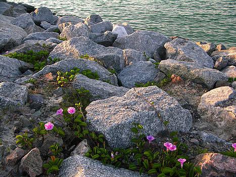 Beach morning glories by Julianne Felton 5-25-14 by Julianne Felton