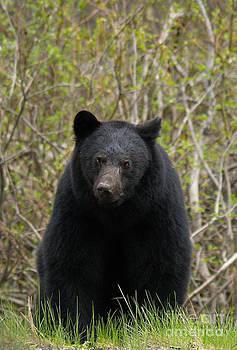 Bear Encounter by Skye Ryan-Evans