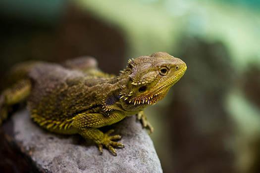 Bearded Dragon Lizard by Jason Brow