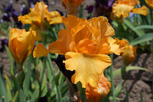 Baslee Troutman - Bearded Iris Flowers Orange Art Prints