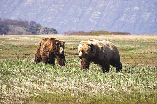 Bears in Hallo Bay in Katmai National Park Alaska by Natasha Bishop
