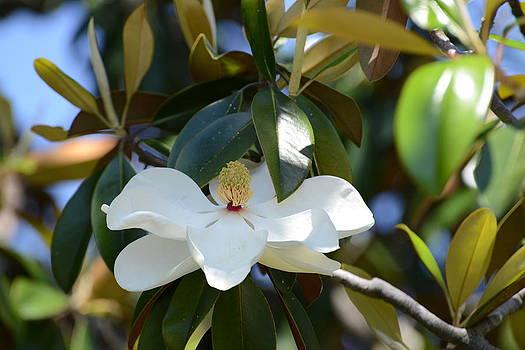Beaufort Magnolia by Teresa Tilley
