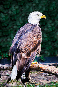 Beautiful Bald Eagle by Jason Brow
