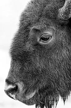 Beautiful Bison Black And White 1 by Boon Mee