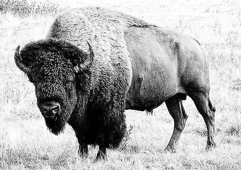 Beautiful Bison Black And White 10 by Boon Mee